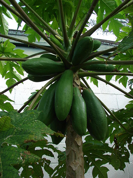 File: Starr 080608-7452 Carica papaya.jpg