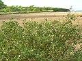 Starr 081231-0164 Chenopodium oahuense.jpg
