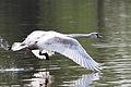 Starting swan in the Biesbosch.jpg
