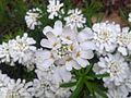 Steinkraut (Blüte).jpg