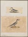 Sterna nilotica - - Print - Iconographia Zoologica - Special Collections University of Amsterdam - UBA01 IZ17900328.tif