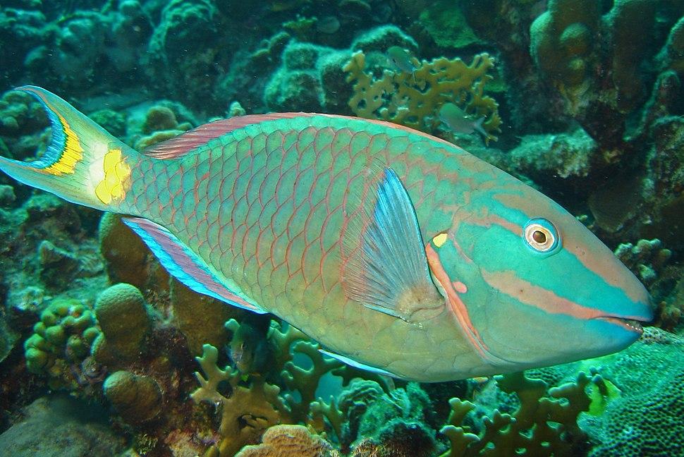 Stoplight-parrotfish