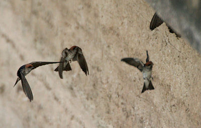 Streaked-throated Swallow (Hirundo fluvicola) coming for building nest W IMG 2305.jpg