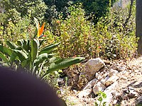 Strelitzia reginae from Kedumim 101.jpg