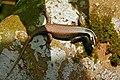 Striped Borneo Tree Skink (Apterygodon vittatus) (22524087994).jpg