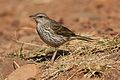 Striped pipit, Anthus lineiventris, at Walter Sisulu National Botanical Garden, Gauteng, South Africa (28853800504).jpg