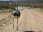 Mind the dip! Ostrich, near Omuramba, Kunene, Namibia.