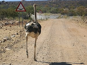 Mind the dip! Ostrich, near Omuramba, Kunene, ...