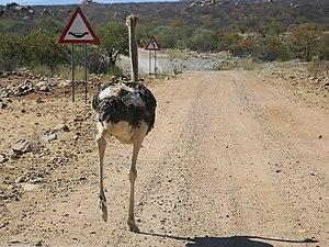 Mind the dip! Ostrich, near Omuramba, Kunene, ...