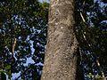 Strychnos nux-vomica (16206637162).jpg