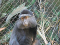 Stuhlmann's Blue Monkey.jpg