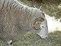 Sturbridge Ram.jpg