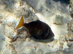 Halfmoon triggerfish (Sufflamen chrysopterum)