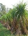 Sugarcane crop in Punjab.jpg
