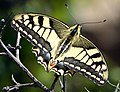 Swallow-tail Papilio machaon 01.jpg