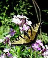 Swallow Tail Butterfly Red Hill Valley 1.jpg
