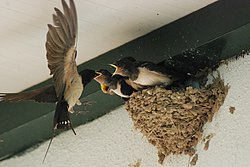 Swallows in nest 3.jpg