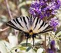 Swallowtail Butterfly (9344887408).jpg