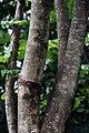 Swietenia macrophylla 5zz.jpg