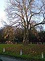 Sycamore Tree - geograph.org.uk - 1052449.jpg