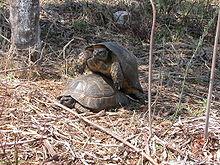 Testudo marginata territorioscuola enhanced wiki alfa for Oggetti per tartarughe
