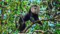 THE LION-TAILED MACAQUE.jpg