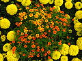 Tagetes in flowerbed border 03.JPG
