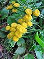 Tanacetum vulgare Bosilegrad 3.JPG