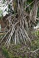 Tangled roots (26721117806).jpg