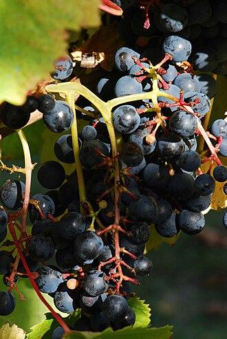 Tannat - Tannat grapes