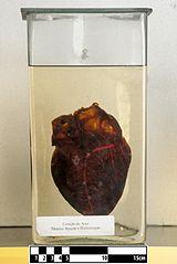 Tapir heart (Tapirus terrestris).jpg