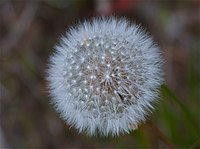 Taraxacumerythrospermum.jpg