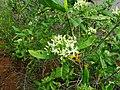 Tarenna asiatica - Asiatic Tarenna 10.jpg