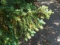 Taxus canadensis 2017-05-23 0592.jpg