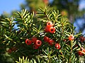 Taxus cuspidata fruits.JPG
