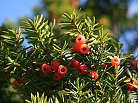 Taxus cuspidata fruits.JPG
