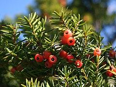 240px taxus cuspidata fruits