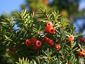 Taxus cuspidata - Image: Taxus cuspidata fruits