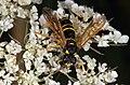 Tenthredinidae fg02.jpg