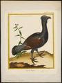 Tetrao urogallus - 1700-1880 - Print - Iconographia Zoologica - Special Collections University of Amsterdam - UBA01 IZ17100317.tif