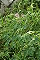 Thalictrum aquilegiifolium PID1699-1.jpg