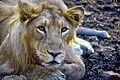 The Asiatic Lion (Panthera Leo Persica).jpg