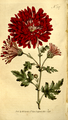 The Botanical Magazine, Plate 327 (Volume 10, 1796).png