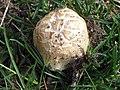 The Brain Mushroom (9174857769).jpg
