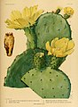 The Cactaceae (Plate XXXII) (6025955673).jpg