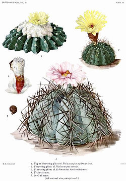 The Cactaceae Vol III, plate XX filtered.jpg