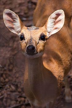 The Deer Eyes.jpg
