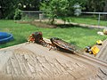 The Great 2004 Cicada infestation.jpg