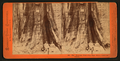 The Keystone State - Big Tree Grove, Calaveras County, by Lawrence & Houseworth 3.png
