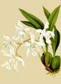 The Orchid Album-02-0021-0054-Coelia cristata alba-crop.png